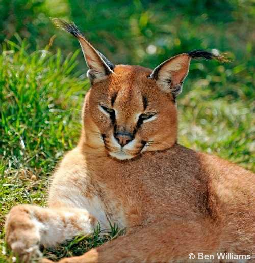 largest wild cat - photo #43