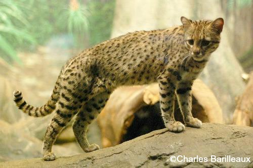 Pictures Of Wild Cats In North America