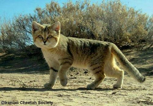Sand Cat - International Society for Endangered Cats (ISEC) Canada