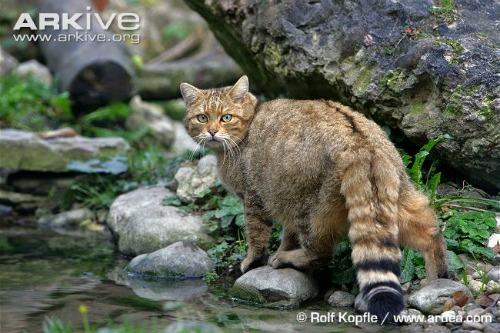 European-wildcat-standing-alert-on-rocks-by-water75