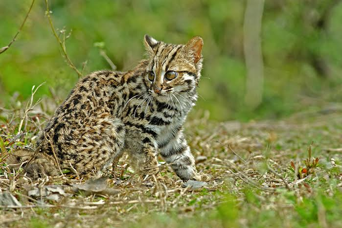 Leopard cat photo taken in Buxa Hills, India submitted by  Arghya Adhikary