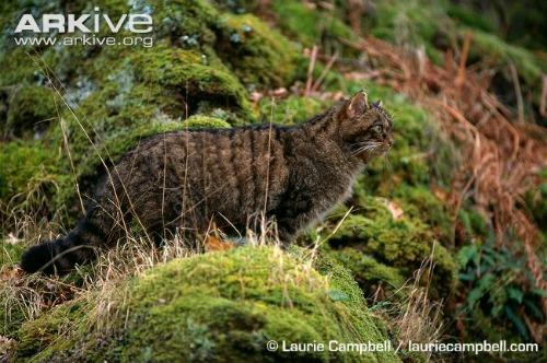 Scottish-wildcat75