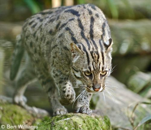 fishing cat international society for endangered cats