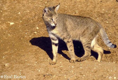 North American Wild Cats