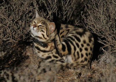 blackfooted cat project international society for