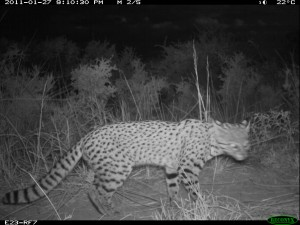 Geoffroys camera trap1