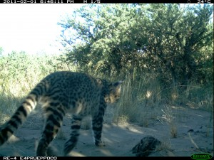 Geoffroys camera trap2