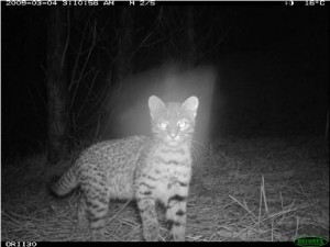 geoffroys cat camera trap photo