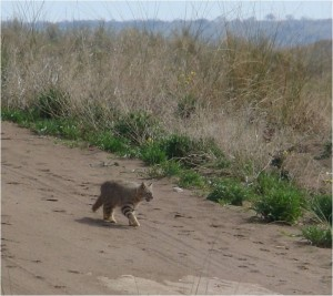pampas cat in ArgentinaGECM