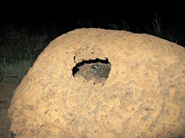Kitten-in-termite-mound75