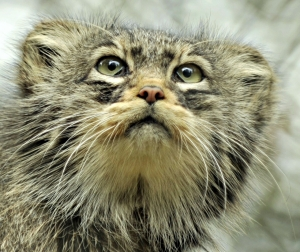 Pallas cat by Ben Williams