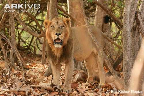 Male-Asiatic-lion50