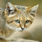 sand cat felis margarita