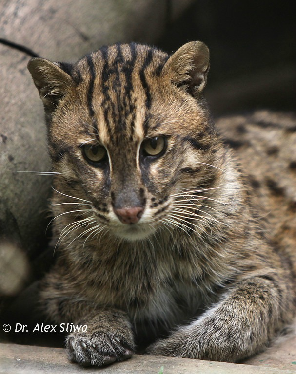 fishing cat prionailurus viverrinus