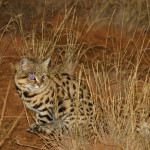 black-footed cat field research