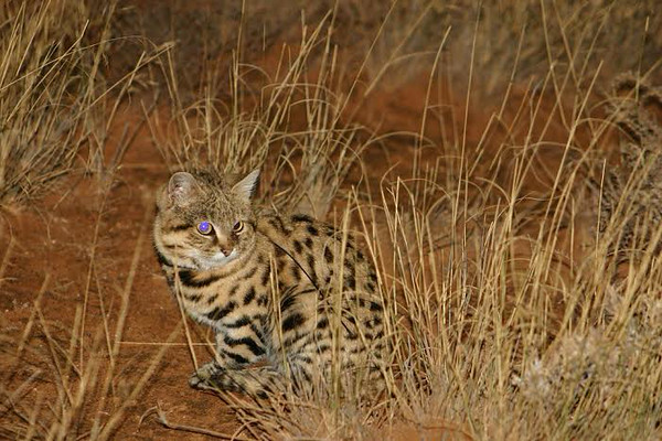 black-footed cat in the wild