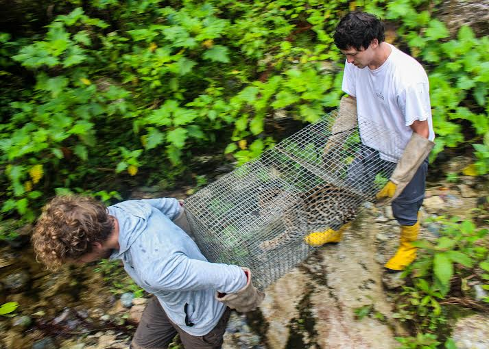 Merazonia coordinators Thomas Ottenhoff (left) and Jason Howard transport the ocelot to the clinic on the day of its release (Photo: Justin Taus).