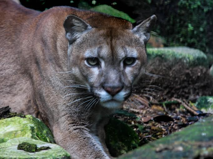 Pangui, a rescued Puma patrols her enclosure at Merazonia in January 2016 (Photo: Justin Taus).