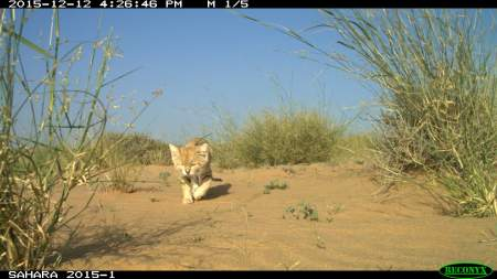 Camera trap of M2 moving from his resting location.