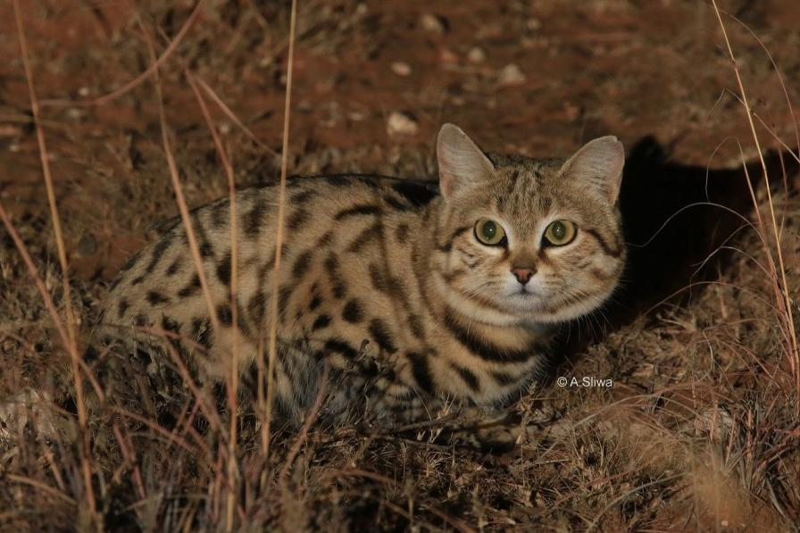 Black Footed Cat International Society For Endangered Cats Isec Canada
